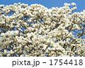 ハクモクレン モクレン 白木蓮の写真 1754418