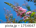 ブッドレア フサフジウツギ ブッドレヤの写真 1754647