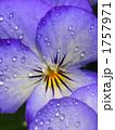 ビオラ 花びら 植物の写真 1757971