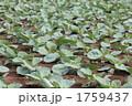 キャベツの幼苗 1759437