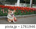 コーギー チューリップ畑 ペットの写真 1761946