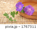 朝顔 アサガオ 花の写真 1767311