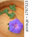 アサガオ 朝顔 あさがおの写真 1767323