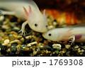 アホロートル ウーパールーパー 両生類 1769308