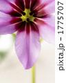 生花 リューコカラベル リューココリーネカラベルの写真 1775707