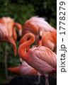 ベニイロフラミンゴ フラミンゴ 鳥類の写真 1778279