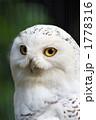 フクロウ 一羽 シロフクロウの写真 1778316