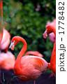 フラミンゴ ベニイロフラミンゴ 鳥類の写真 1778482