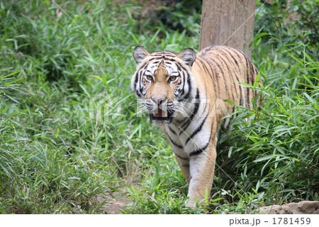 陸上動物 トラ 動物の写真素材 [1781459] - PIXTA