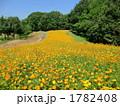 コスモス畑 キバナコスモス 花畑の写真 1782408