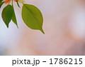 植物 緑の葉 葉桜の写真 1786215