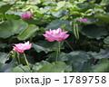 蓮の花 1789758