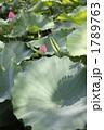 蓮の花 1789763