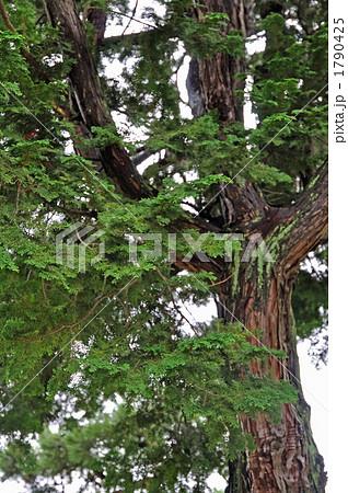 樹木・チャボシバ ヒノキ科 1790425