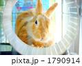 ネザーランドドワーフ 子ウサギ ラビットの写真 1790914