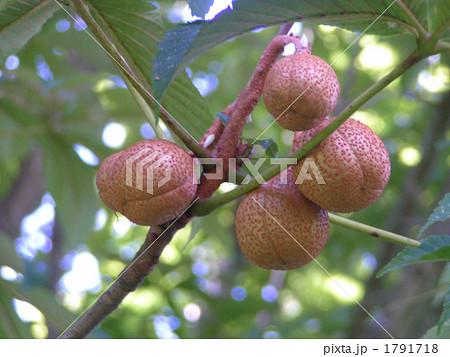 街路樹に多く使われる栃の木の実 1791718