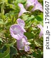 ヒルガオ アサガオ 昼顔の写真 1796607