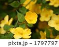 山野草 山吹 ヤマブキの写真 1797797