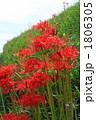 彼岸花2010005 1806305