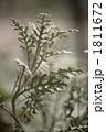 ダスティーミラー シロタエギク 白妙菊の写真 1811672