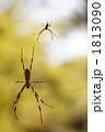 くもの巣 スパイダー 節足動物の写真 1813090