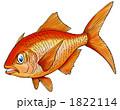 金目鯛 キンメダイ きんめだいのイラスト 1822114