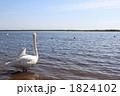 白鳥 コハクチョウ ウトナイ湖の写真 1824102
