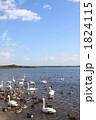 コハクチョウ 小白鳥 白鳥の写真 1824115