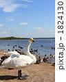 鳥類 白鳥 コハクチョウの写真 1824130