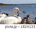 鳥類 白鳥 コハクチョウの写真 1824133