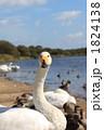 鳥類 白鳥 コハクチョウの写真 1824138