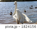 白鳥 コハクチョウ 小白鳥の写真 1824156