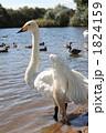 白鳥 鳥類 コハクチョウの写真 1824159
