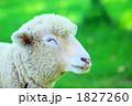 眠るヒツジ 1827260