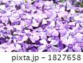 紫のきれいな芝桜が咲きました 1827658