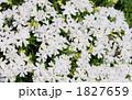 白い芝桜 1827659
