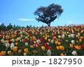 花畑 チューリップ畑 一本木の写真 1827950