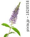 バドレヤ バドレア フジウツギの写真 1828558