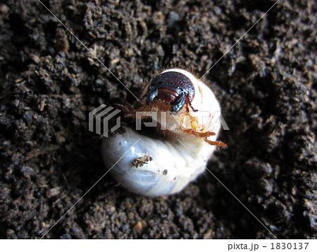 カブトムシの幼虫 1830137