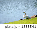畔 白鳥 動物の写真 1833541