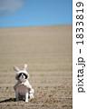 ペット 犬 動物の写真 1833819