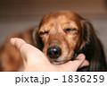 ミニチュアダックス 動物 犬の写真 1836259