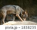 肉食動物 狼 オオカミの写真 1838235