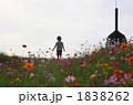野原 男の子 コスモス畑の写真 1838262