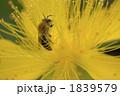 ミツバチ 蜂 ハチの写真 1839579