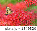 アゲハ蝶と彼岸花 1849320
