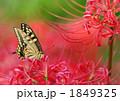 アゲハ蝶と彼岸花 1849325