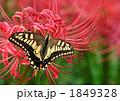 アゲハ蝶と彼岸花 1849328