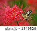 アゲハ蝶と彼岸花 1849329