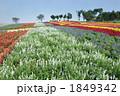 サルビア畑 1849342